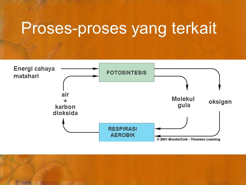 Proses-proses yang terkait Energi cahaya matahari air + karbon dioksida FOTOSINTESIS RESPIRASI AEROBIK Molekul gula oksigen