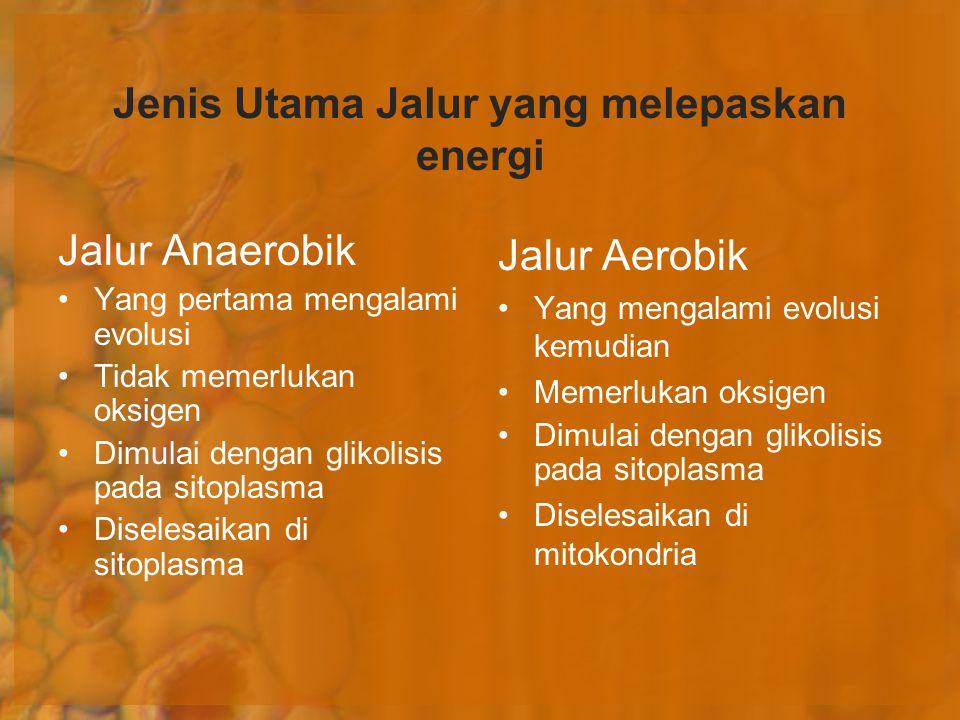 Jenis Utama Jalur yang melepaskan energi Jalur Aerobik Yang mengalami evolusi kemudian Memerlukan oksigen Dimulai dengan glikolisis pada sitoplasma Di