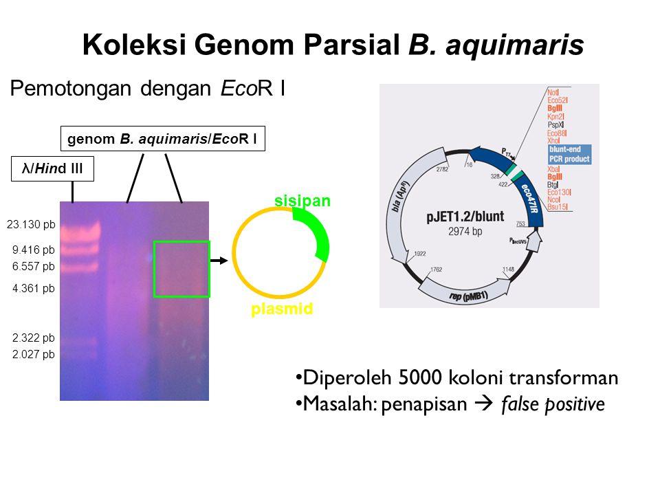 Koleksi Genom Parsial B. aquimaris plasmid sisipan Pemotongan dengan EcoR I 23.130 pb 9.416 pb 6.557 pb 4.361 pb 2.322 pb 2.027 pb λ/Hind III genom B.