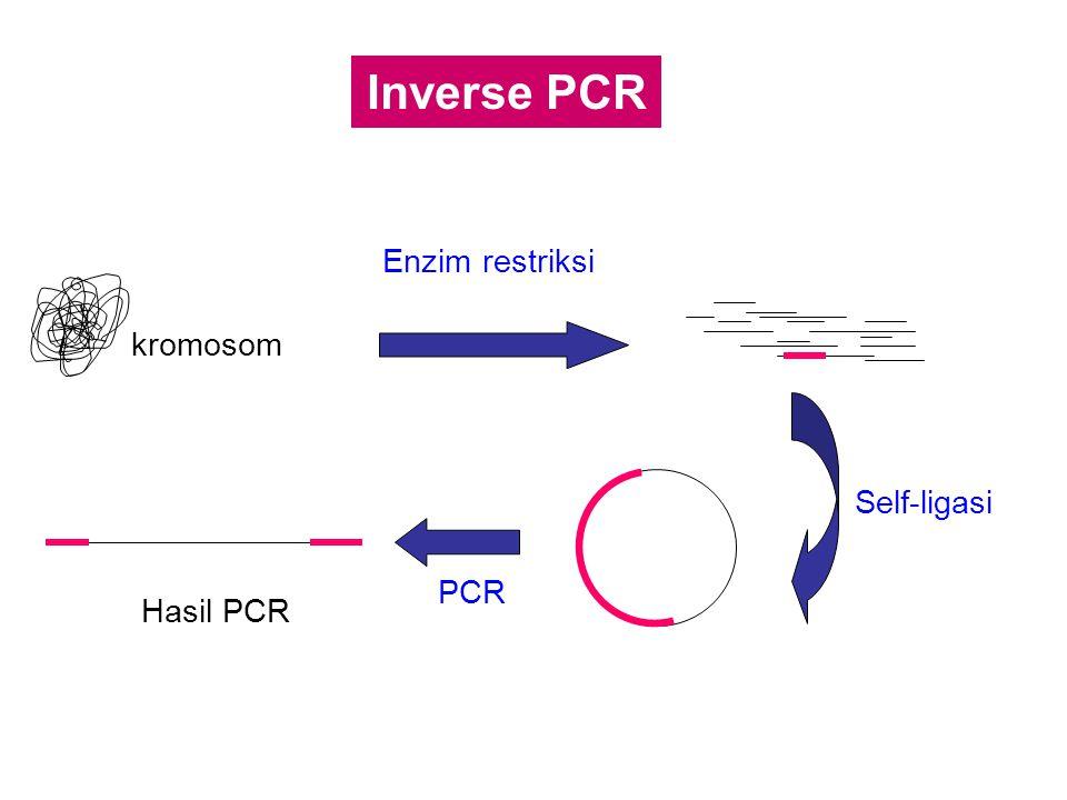 Inverse PCR kromosom Enzim restriksi Self-ligasi PCR Hasil PCR