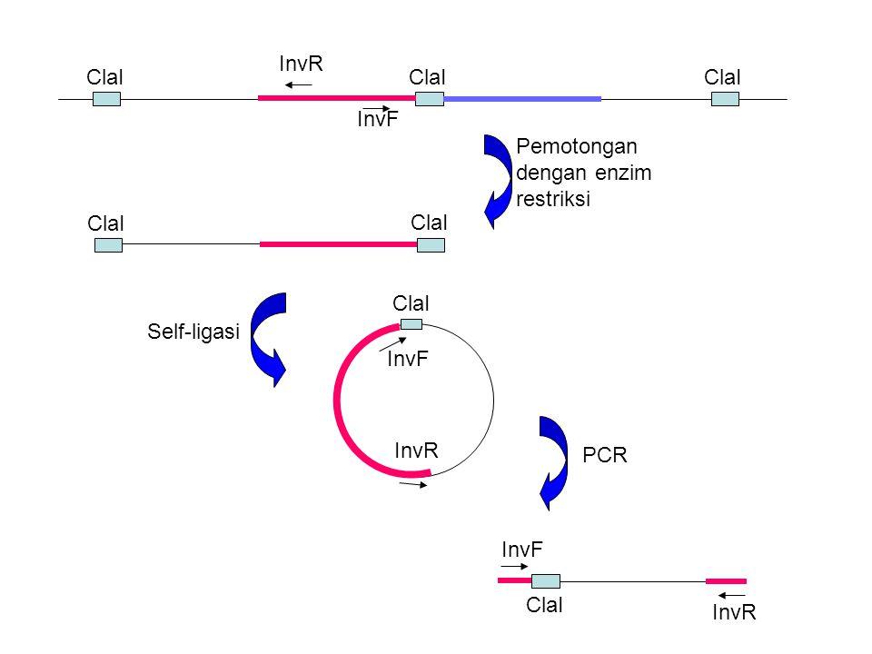 InvF InvR ClaI InvR InvF ClaI InvR InvF ClaI Pemotongan dengan enzim restriksi Self-ligasi PCR