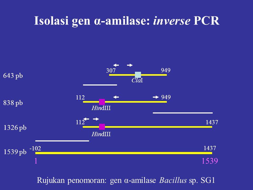 Isolasi gen α-amilase: inverse PCR 307 949 ClaI 949 112 HindIII 1121437 HindIII -102 1437 15391 Rujukan penomoran: gen α-amilase Bacillus sp. SG1 643