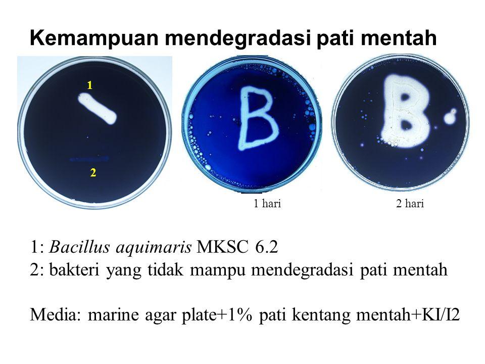 1: Bacillus aquimaris MKSC 6.2 2: bakteri yang tidak mampu mendegradasi pati mentah Media: marine agar plate+1% pati kentang mentah+KI/I2 Kemampuan me