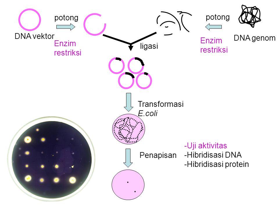DNA genom DNA vektor potong ligasi Transformasi E.coli potong Penapisan. Enzim restriksi -Uji aktivitas -Hibridisasi DNA -Hibridisasi protein