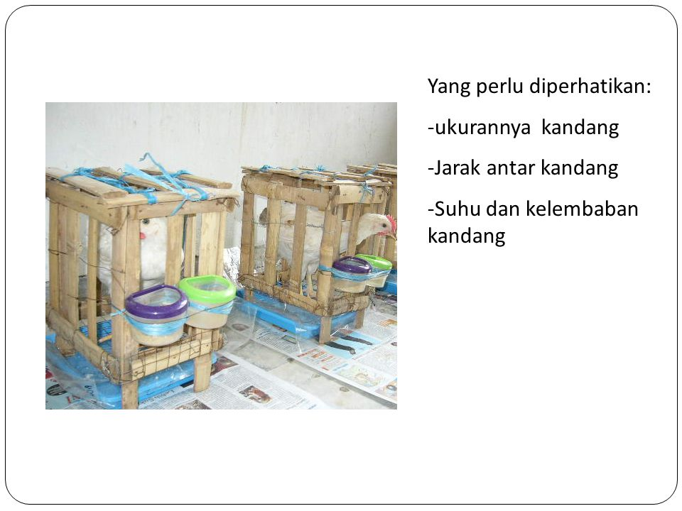 Kelemahan: - penggunaan rafia  dipatuk ayam Yang perlu diperhatikan: -ukurannya kandang -Jarak antar kandang -Suhu dan kelembaban kandang