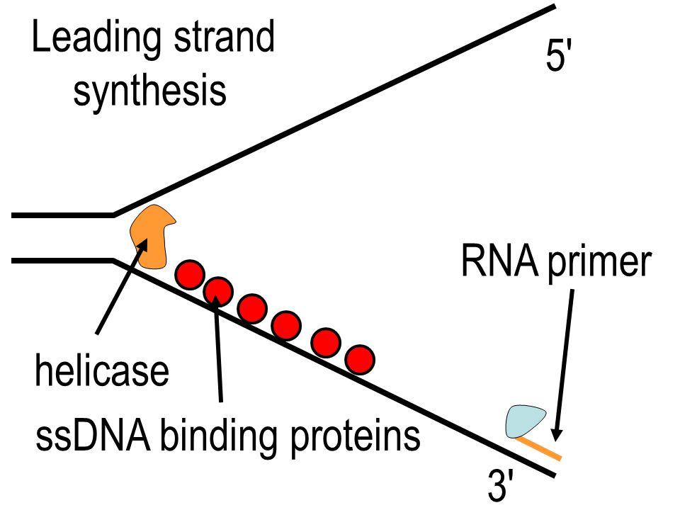 replication fork 5' 3' template strands lagging strand leading strand