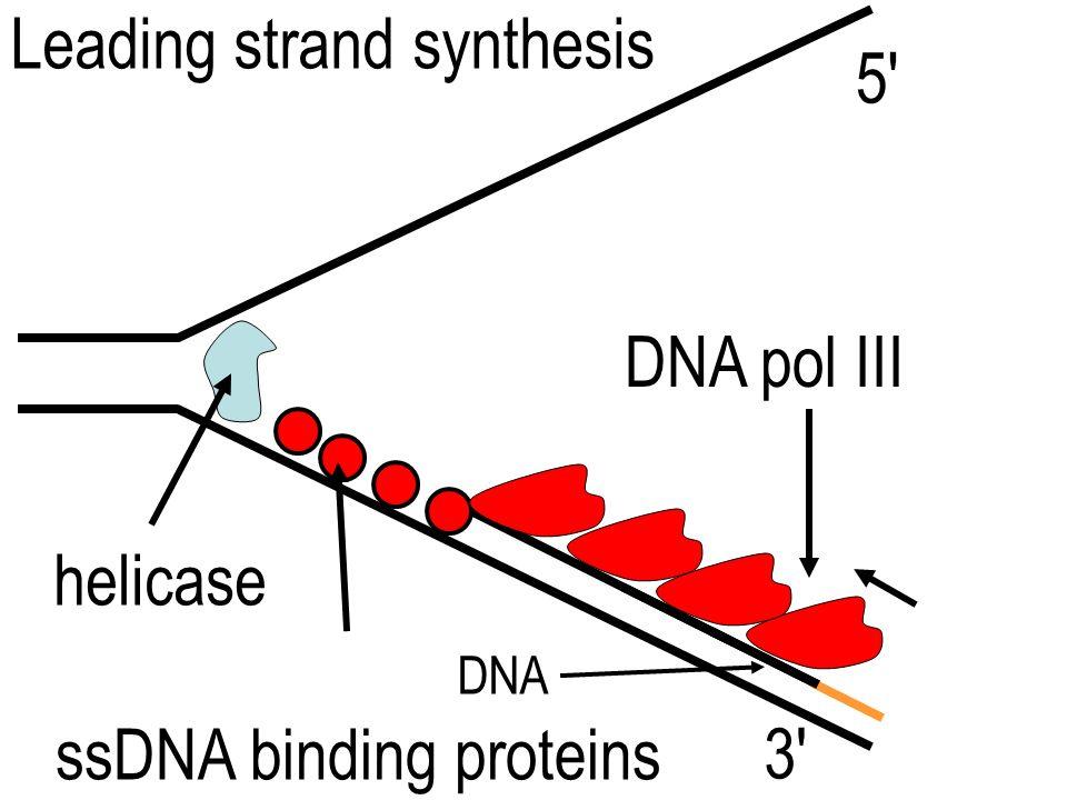 helicase ssDNA binding proteins DNA polymerase 3' 5'