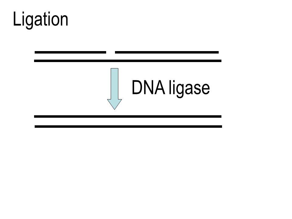 Ligase DNA Menyambung dua fragmen Okasaki dengan membentuk ikatan fosfodiester antara 3'-OH fragmen 1 dengan 5'-P fragmen 2Menyambung dua fragmen Okas