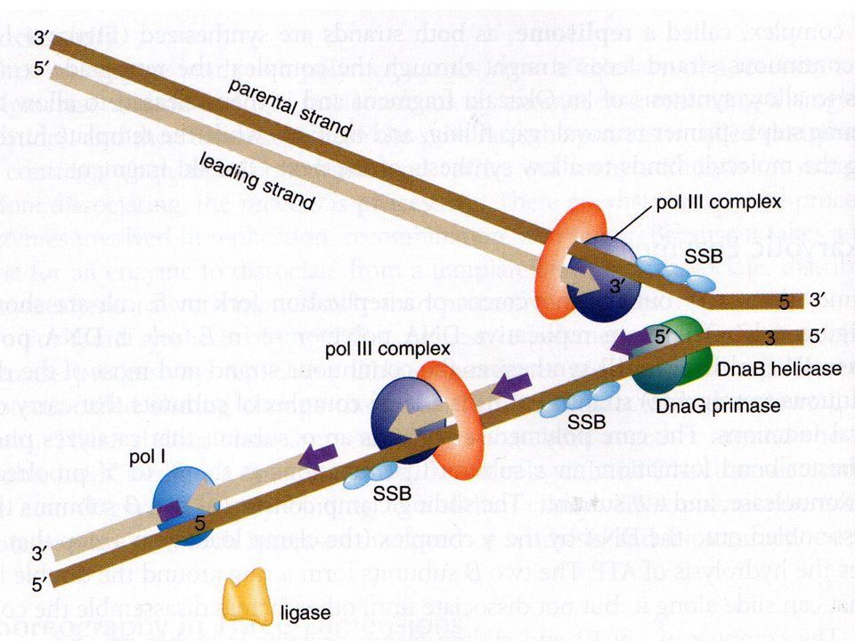 KEPERLUAN REPLIKASI DNA TEMPLATE (CETAKAN)TEMPLATE (CETAKAN) PRIMER : 3'-OH - PERPANJANGANPRIMER : 3'-OH - PERPANJANGAN PREKURSOR : dNTPPREKURSOR : dN