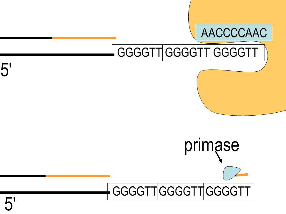 AACCCCAAC 5' GGGGTT 5' telomerase