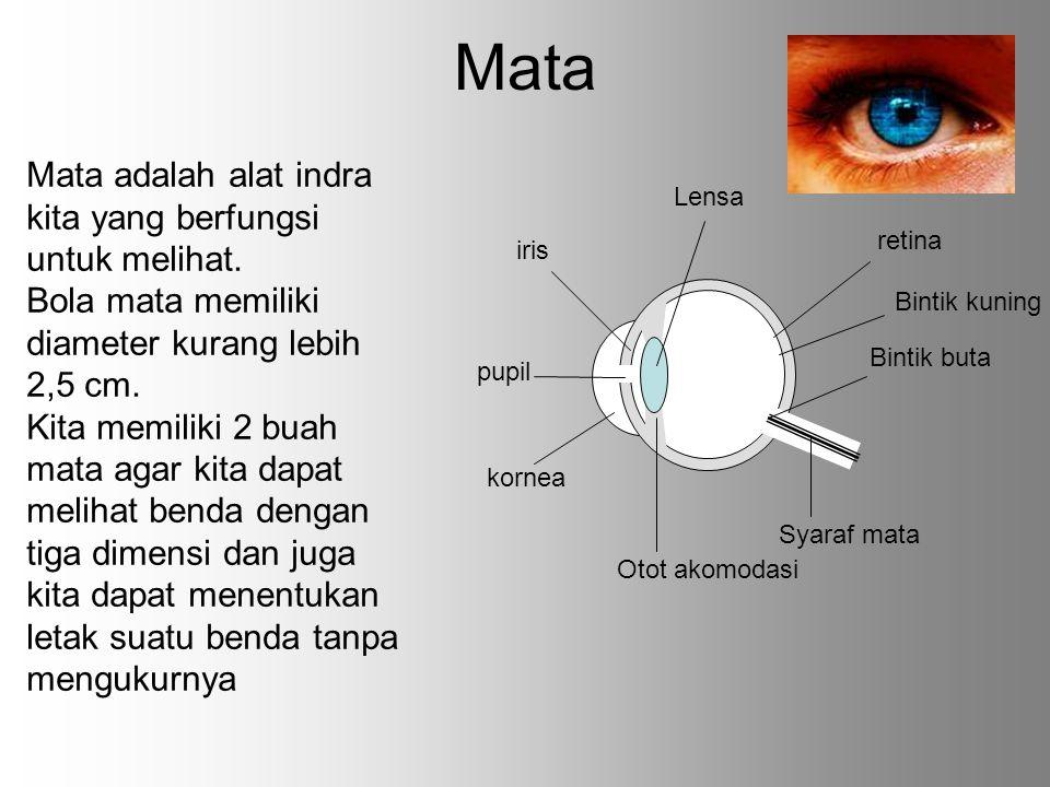 Otot akomodasi berfungsi menarik dan mendorong lensa mata sehingga lensa mata dapat menebal dan menipis.