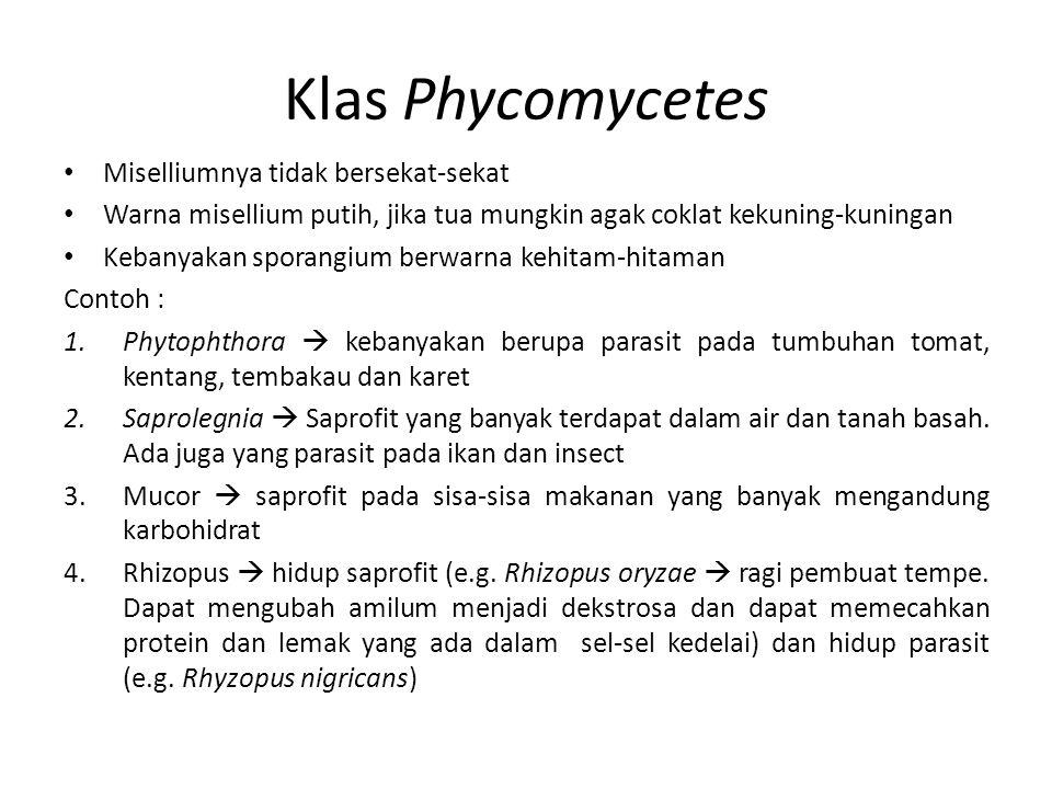 Klas Phycomycetes Miselliumnya tidak bersekat-sekat Warna misellium putih, jika tua mungkin agak coklat kekuning-kuningan Kebanyakan sporangium berwar