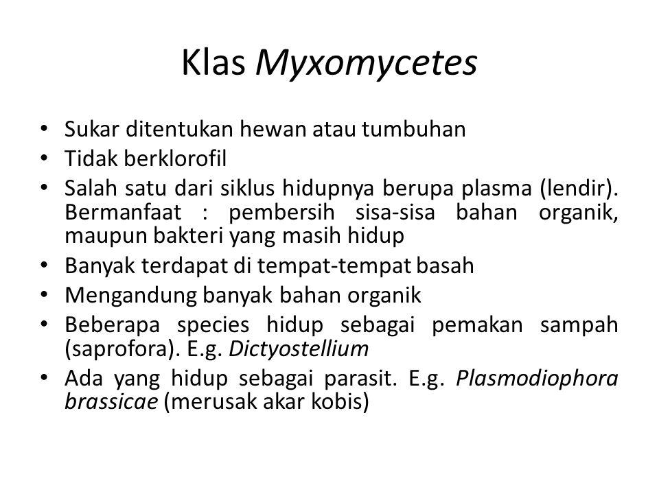 Klas Myxomycetes Sukar ditentukan hewan atau tumbuhan Tidak berklorofil Salah satu dari siklus hidupnya berupa plasma (lendir). Bermanfaat : pembersih