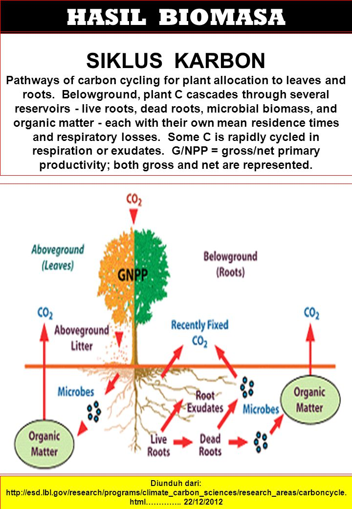 HASIL BIOMASA SIKLUS KARBON Pathways of carbon cycling for plant allocation to leaves and roots. Belowground, plant C cascades through several reservo