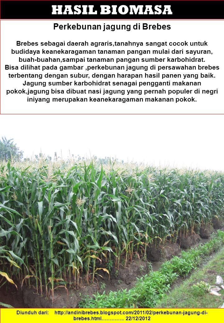 HASIL BIOMASA Perkebunan jagung di Brebes Brebes sebagai daerah agraris,tanahnya sangat cocok untuk budidaya keanekaragaman tanaman pangan mulai dari sayuran, buah-buahan,sampai tanaman pangan sumber karbohidrat.