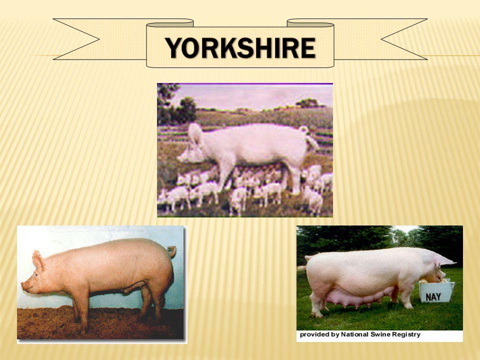  Ternak babi prolifik  Ternak babi efisien dalam mengkonversi pakan  Mempunyai karkas yang tinggi  Ternak babi dapat berdampingan dengan pertanian tanaman biji-bijian  Memanfaatkan tenaga kerja sepanjang tahun