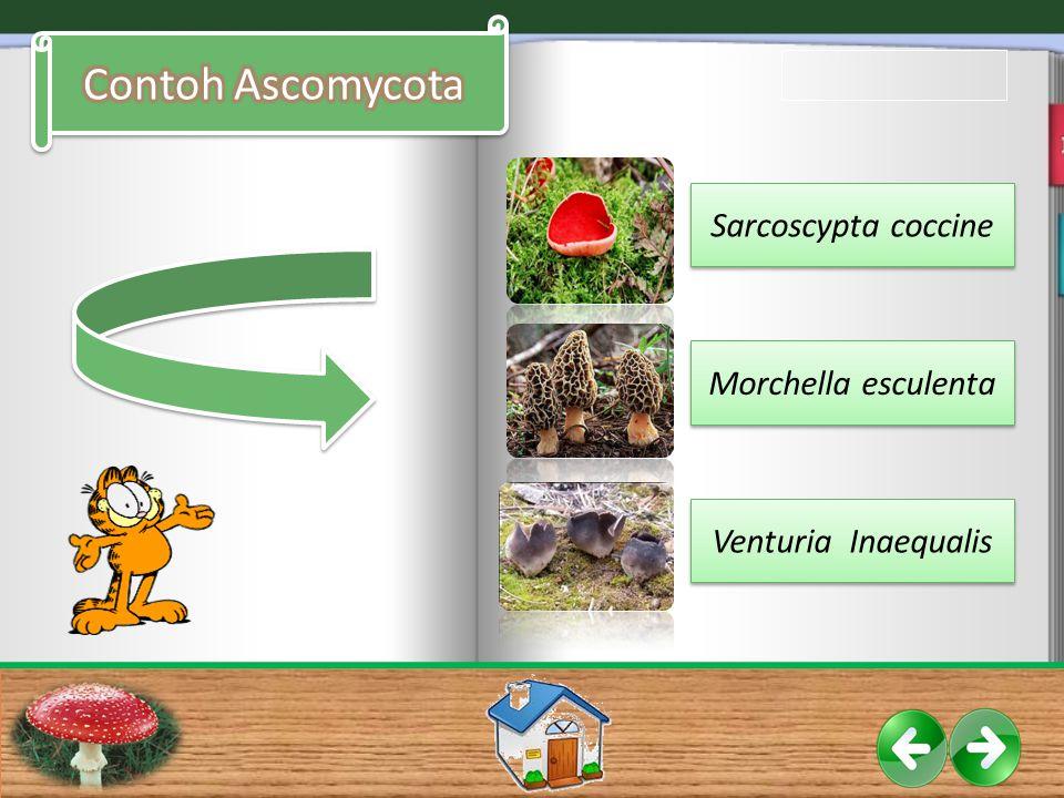 Sarcoscypta coccine Morchella esculenta Venturia Inaequalis
