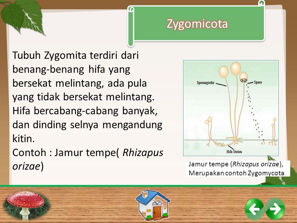 Tubuh Zygomita terdiri dari benang-benang hifa yang bersekat melintang, ada pula yang tidak bersekat melintang. Hifa bercabang-cabang banyak, dan dind