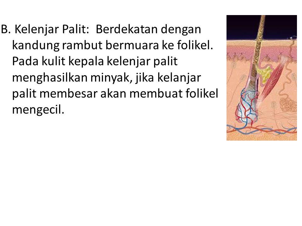 B. Kelenjar Palit: Berdekatan dengan kandung rambut bermuara ke folikel. Pada kulit kepala kelenjar palit menghasilkan minyak, jika kelanjar palit mem
