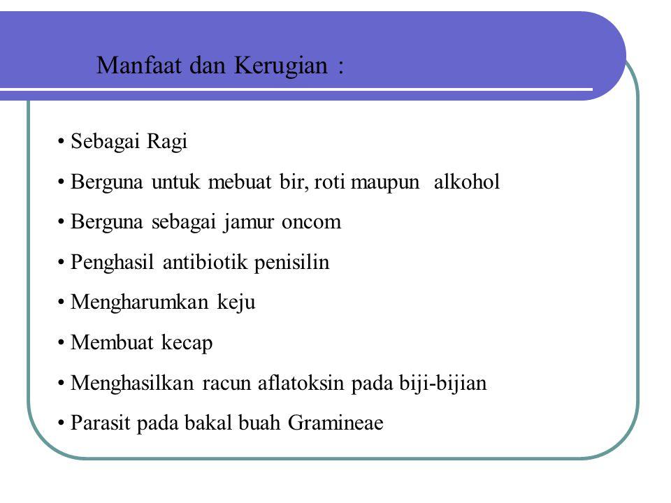 Manfaat dan Kerugian : Sebagai Ragi Berguna untuk mebuat bir, roti maupun alkohol Berguna sebagai jamur oncom Penghasil antibiotik penisilin Mengharum