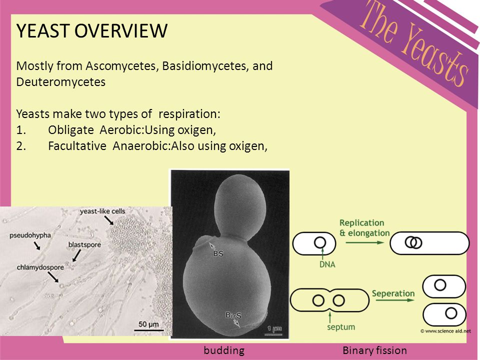 YEAST OVERVIEW Mostly from Ascomycetes, Basidiomycetes, and Deuteromycetes Yeasts make two types of respiration: 1.Obligate Aerobic:Using oxigen, 2.Fa