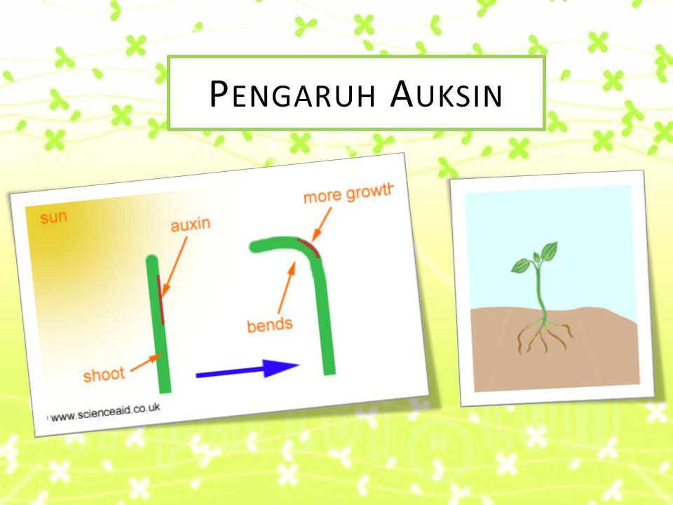 KESIMPULAN  Tanaman yang kurang mendapat cahaya matahari tumbuh lebih cepat dibanding dengan tanaman yang lebih banyak mendapat cahaya matahari.  Ha