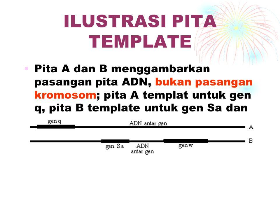 ILUSTRASI PITA TEMPLATE Pita A dan B menggambarkan pasangan pita ADN, bukan pasangan kromosom; pita A templat untuk gen q, pita B template untuk gen S