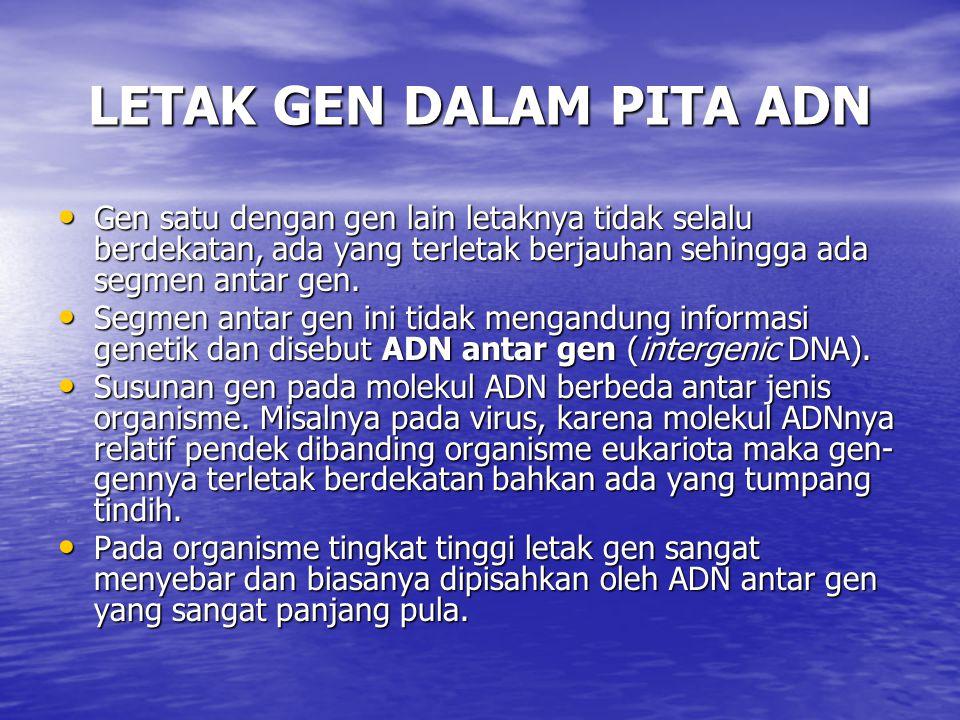 LETAK GEN DALAM PITA ADN Gen satu dengan gen lain letaknya tidak selalu berdekatan, ada yang terletak berjauhan sehingga ada segmen antar gen. Gen sat