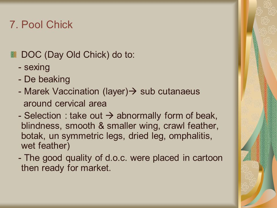 7. Pool Chick DOC (Day Old Chick) do to: - sexing - De beaking - Marek Vaccination (layer)  sub cutanaeus around cervical area - Selection : take out