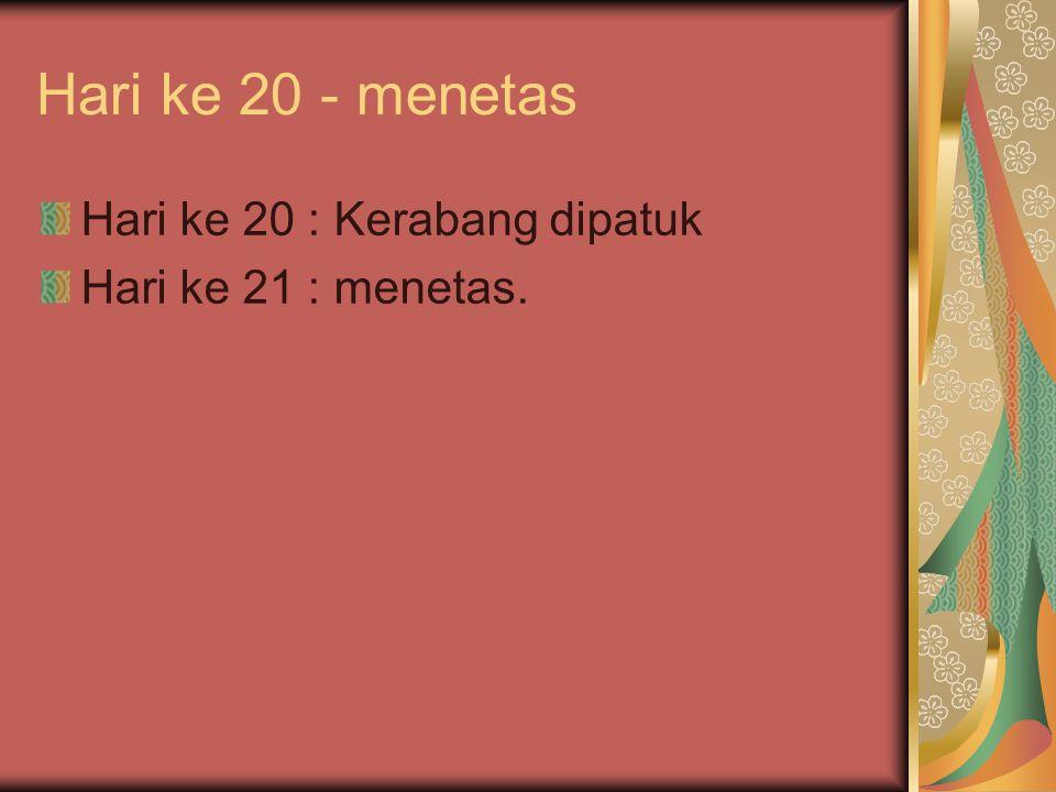 Hari ke 20 - menetas Hari ke 20 : Kerabang dipatuk Hari ke 21 : menetas.