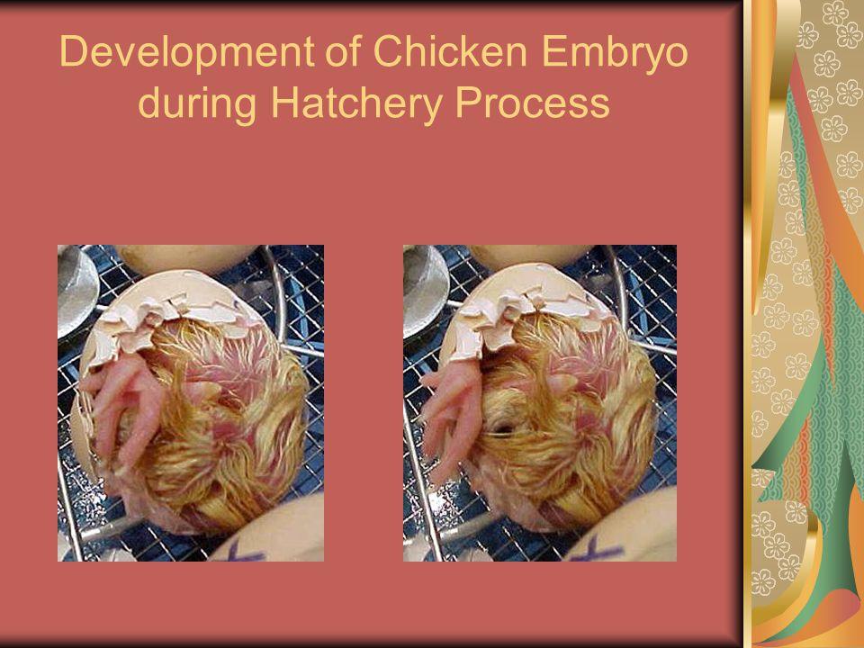 Development of Chicken Embryo during Hatchery Process
