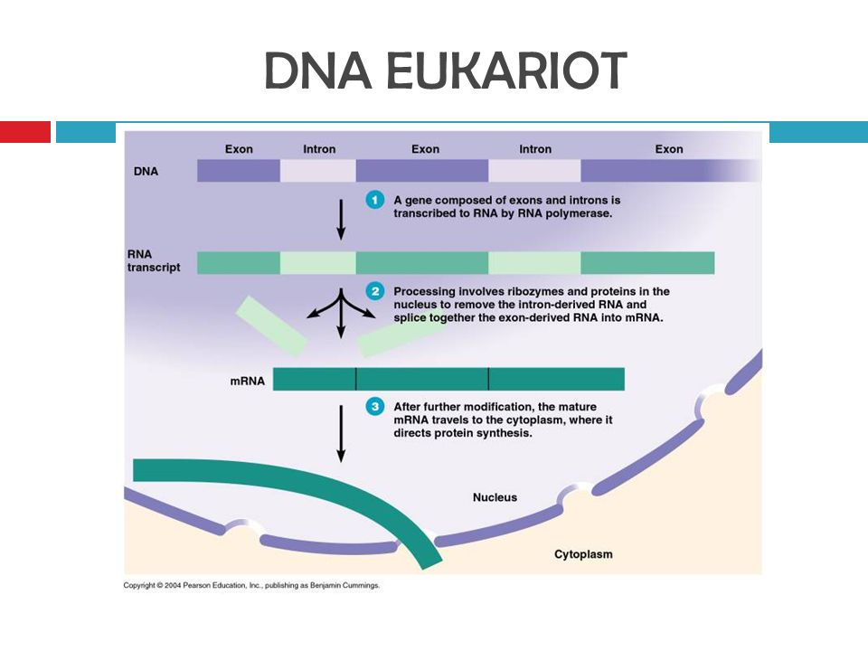 DNA EUKARIOT