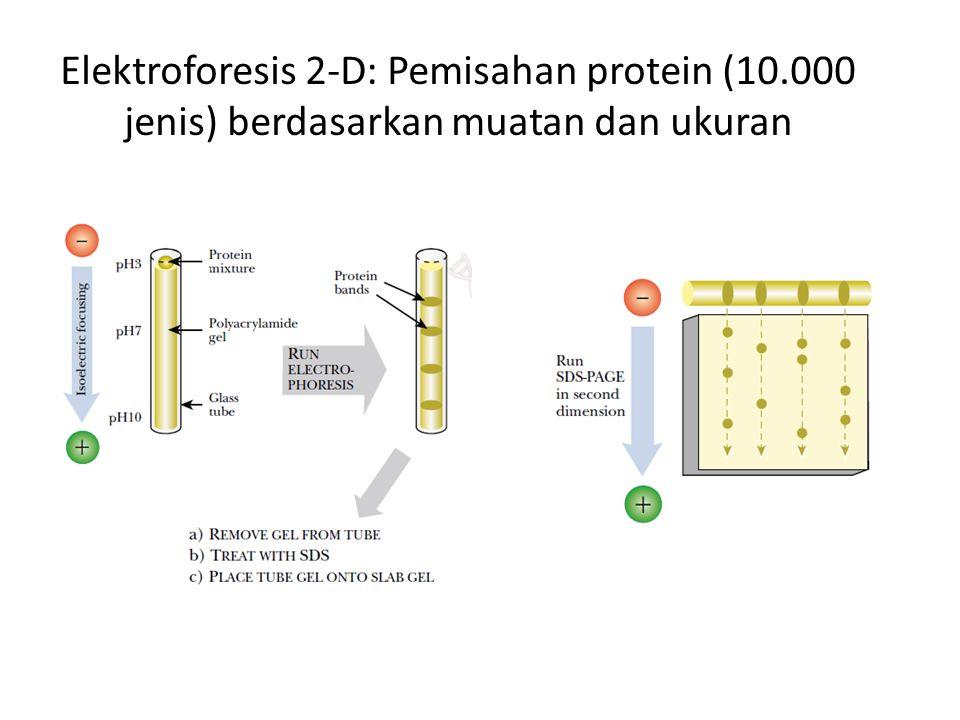 Elektroforesis 2-D: Pemisahan protein (10.000 jenis) berdasarkan muatan dan ukuran