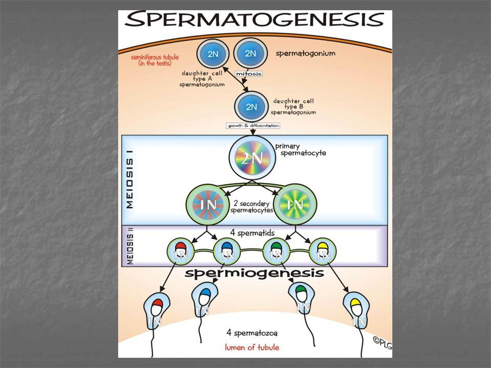 Spermatogonium  Spermatid : Spermatositogenesis Spermatid  Spermatozoa : Spermiogenesis - aparatus golgi  Akrosom - inti  kepala spermatozoa - sentriol  ekor spermatozoa - plasma membran  selubung tubuh - mitokondria  berkumpul di ekor Spermatogonium - dekat lamina basalis, besar bervariasi - inti bulat lonjong, + butir-butir kromatin - nukleoli dekat selaput inti - sitoplasma granuler, < jelas - HE = inti bulat, biru (kadang-kadang mitosis)