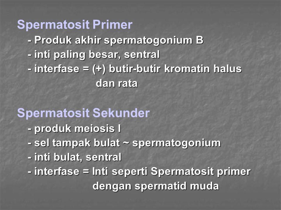 Spermatid - produk meiosis II - hampir berbatasan dengan lumen tubulus seminiferus - inti eksentris, lonjong - berkelompok 4 – 8 - daerah golgi dekat inti, berbatas tidak jelas - mitokondria (butir-butir >>) dalam membran sitoplasma Spermatozoa Tubulus seminiferus  berkala  dewasa kelamin - mamalia = 50 – 60  - kepala leher leher ekor = - pangkal ekor = - pangkal - tengah - tengah - ujung - ujung