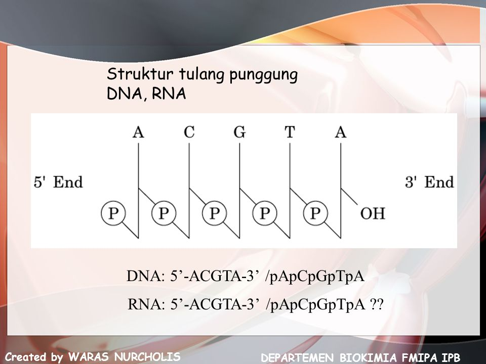 Struktur tulang punggung DNA, RNA Created by WARAS NURCHOLIS DEPARTEMEN BIOKIMIA FMIPA IPB DNA: 5'-ACGTA-3' /pApCpGpTpA RNA: 5'-ACGTA-3' /pApCpGpTpA ??