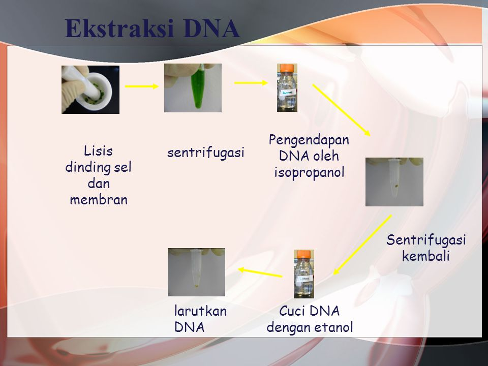 Kualitas DNA 1 kbp and 100 bp ladders Genomic DNA of 5 species of cereals Ukuran DNA genom dr beberapa Species (kbp) E.