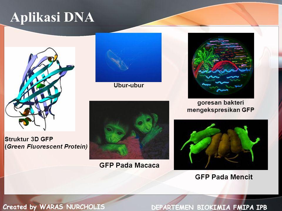 Created by WARAS NURCHOLIS DEPARTEMEN BIOKIMIA FMIPA IPB Struktur 3D GFP (Green Fluorescent Protein) Ubur-ubur goresan bakteri mengekspresikan GFP GFP Pada Macaca GFP Pada Mencit Aplikasi DNA