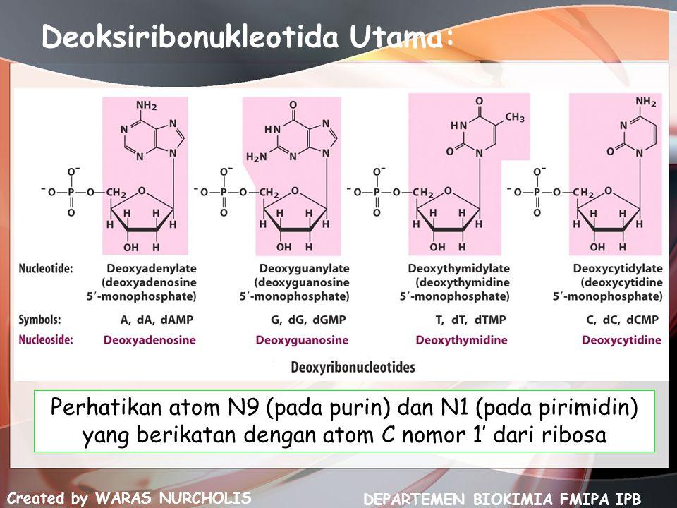 Created by WARAS NURCHOLIS DEPARTEMEN BIOKIMIA FMIPA IPB Deoksiribonukleotida Utama: Perhatikan atom N9 (pada purin) dan N1 (pada pirimidin) yang beri