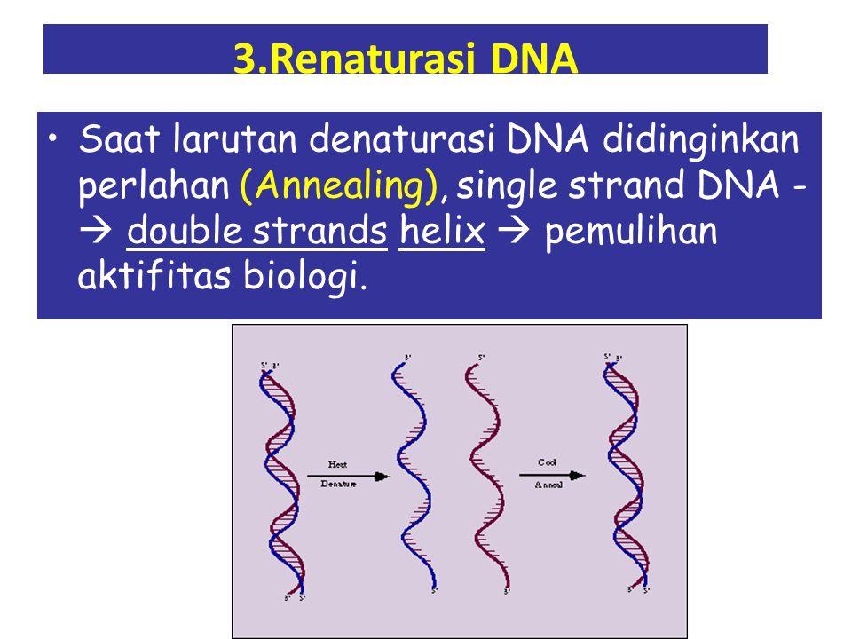 3.Renaturasi DNA Saat larutan denaturasi DNA didinginkan perlahan (Annealing), single strand DNA -  double strands helix  pemulihan aktifitas biologi.