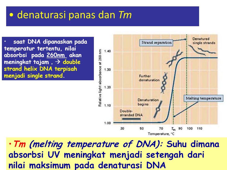 denaturasi panas dan Tm saat DNA dipanaskan pada temperatur tertentu, nilai absorbsi pada 260nm akan meningkat tajam ,  double strand helix DNA terpi
