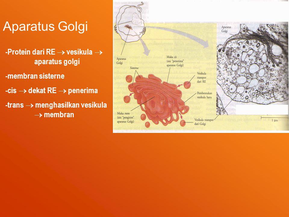 Aparatus Golgi -Protein dari RE  vesikula  aparatus golgi -membran sisterne -cis  dekat RE  penerima -trans  menghasilkan vesikula  membran