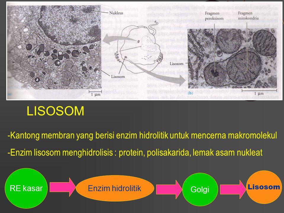 LISOSOM -Kantong membran yang berisi enzim hidrolitik untuk mencerna makromolekul -Enzim lisosom menghidrolisis : protein, polisakarida, lemak asam nu