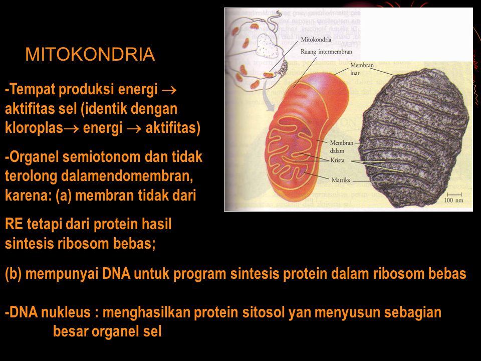 MITOKONDRIA -Tempat produksi energi  aktifitas sel (identik dengan kloroplas  energi  aktifitas) -Organel semiotonom dan tidak terolong dalamendome