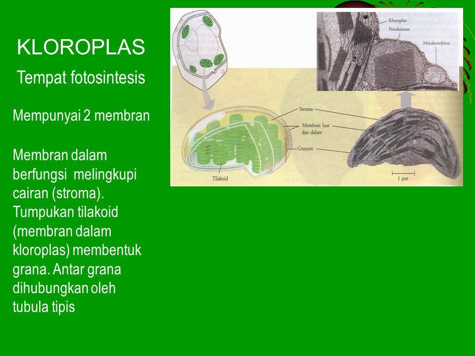 KLOROPLAS Tempat fotosintesis Mempunyai 2 membran Membran dalam berfungsi melingkupi cairan (stroma). Tumpukan tilakoid (membran dalam kloroplas) memb