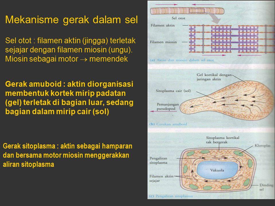 Mekanisme gerak dalam sel Sel otot : filamen aktin (jingga) terletak sejajar dengan filamen miosin (ungu). Miosin sebagai motor  memendek Gerak amubo