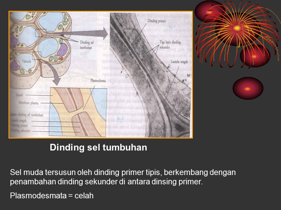 Dinding sel tumbuhan Sel muda tersusun oleh dinding primer tipis, berkembang dengan penambahan dinding sekunder di antara dinsing primer. Plasmodesmat