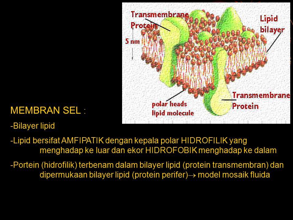 MEMBRAN SEL : -Bilayer lipid -Lipid bersifat AMFIPATIK dengan kepala polar HIDROFILIK yang menghadap ke luar dan ekor HIDROFOBIK menghadap ke dalam -P