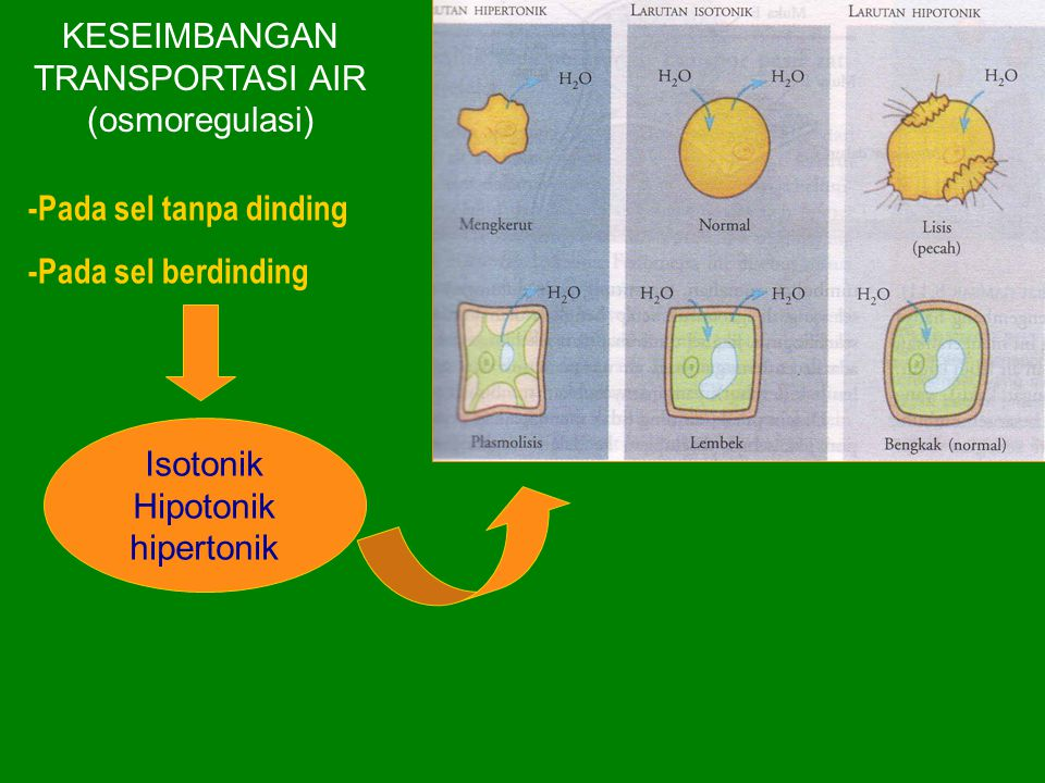 KESEIMBANGAN TRANSPORTASI AIR (osmoregulasi) -Pada sel tanpa dinding -Pada sel berdinding Isotonik Hipotonik hipertonik