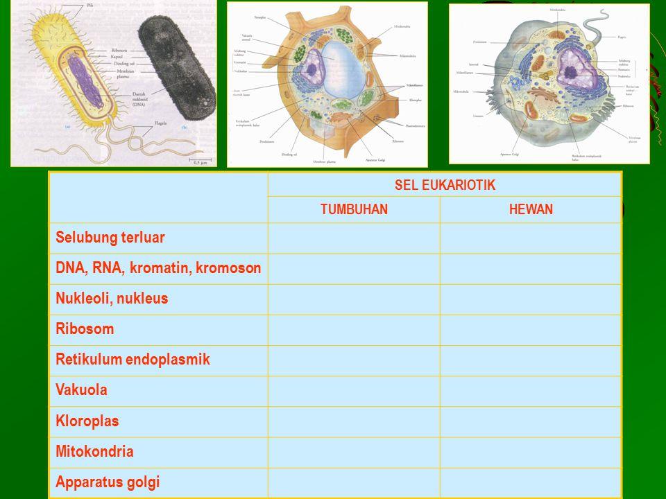 SEL EUKARIOTIK TUMBUHANHEWAN Selubung terluar DNA, RNA, kromatin, kromoson Nukleoli, nukleus Ribosom Retikulum endoplasmik Vakuola Kloroplas Mitokondr